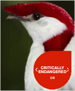 Antilophia-bokermanni-extinção