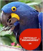 Arara-Azul-extinção