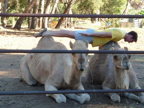 Planking em Camelos