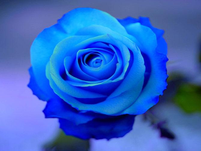 As rosas azuis são tão belas quantos as outras. (Foto: Reprodução)