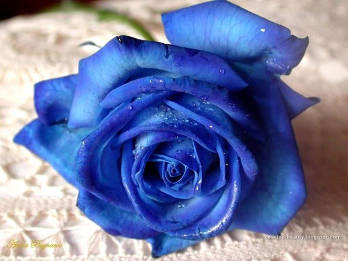 Rosa-azul2