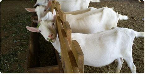 Criacao de cabras