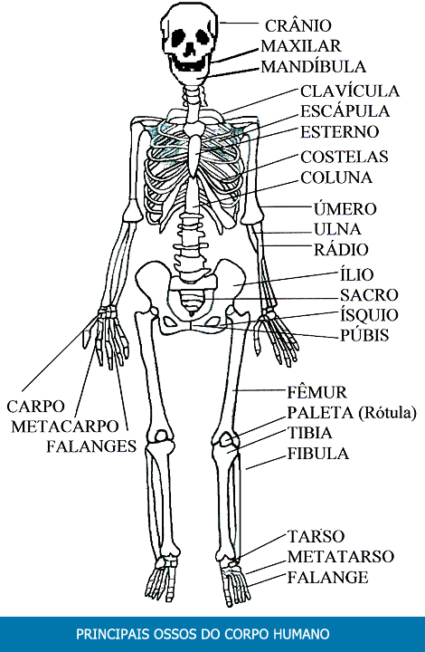 Os principais ossos do corpo humano