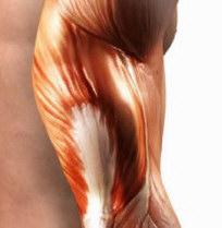 Principais Músculos do corpo
