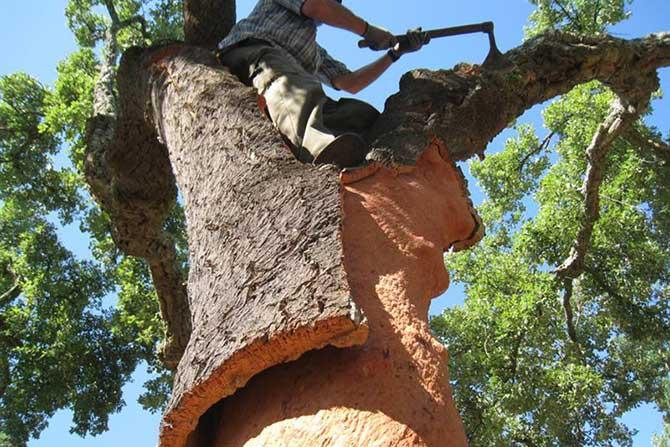 A madeira da árvore de cortiça é a principal matéria prima da rolha