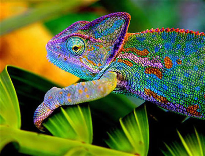 O camaleão é o mestre do mimetismo e da camuflagem