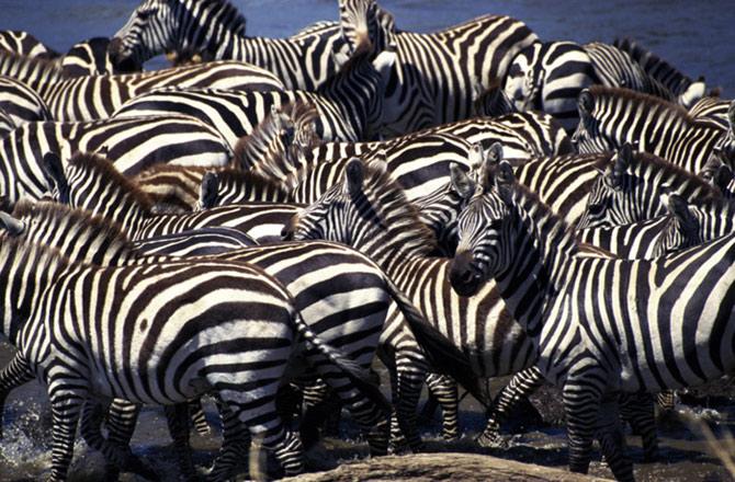 As zebras são um ótimo exemplo de mimetismo coletivo.