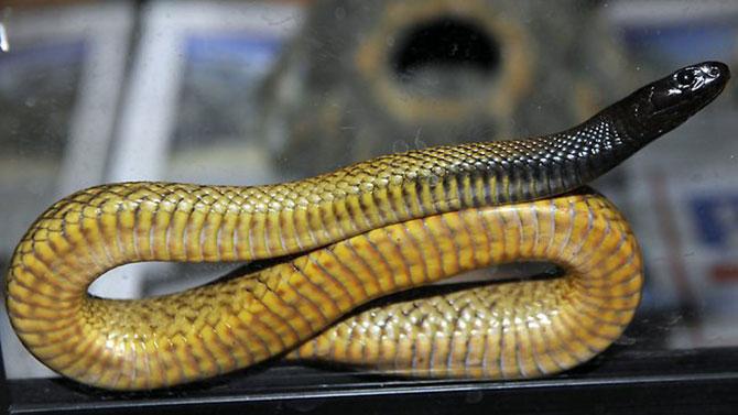 A temida Taipan do interior, a cobra mais venenosa do mundo.
