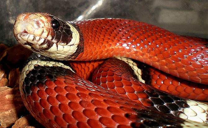 A coral verdadeira é a cobra mais venenosa do Brasil.