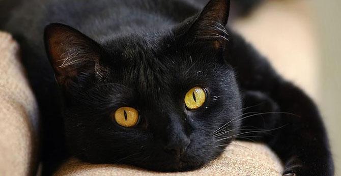 Os gatos pretos foram os mais perseguidos durante a Santa Inquisição.
