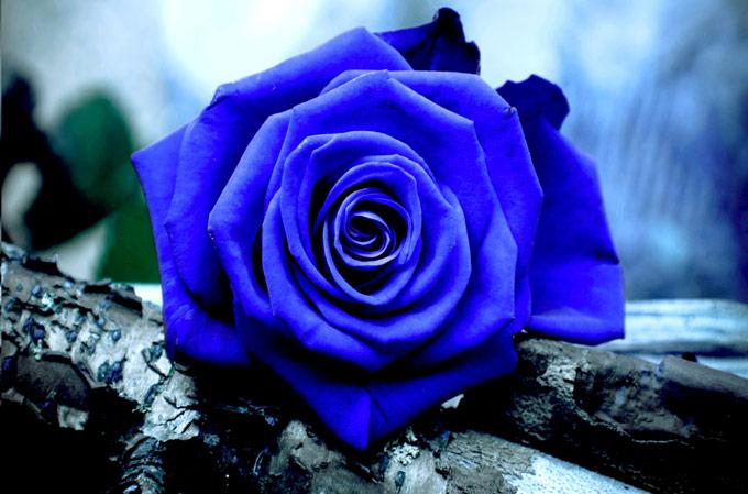 Rosa-azul-4