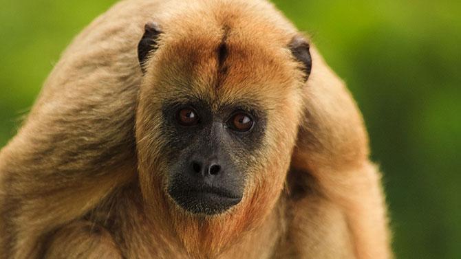 Macaco-bugio