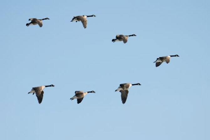 A ave que lidera o grupo é a que mais se cansa