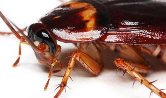 A barata consegue sobreviver até 30 dias sem a cabeça