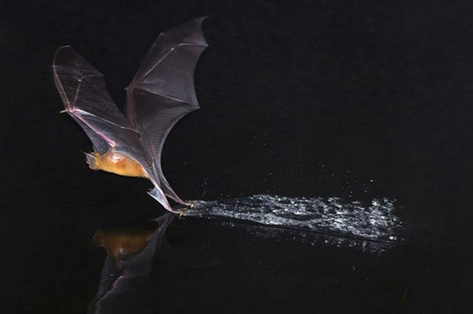 Morcego-pescador