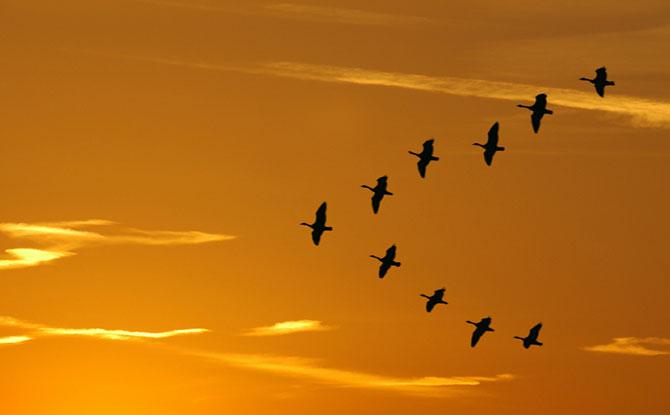 Pássaros em formação de V