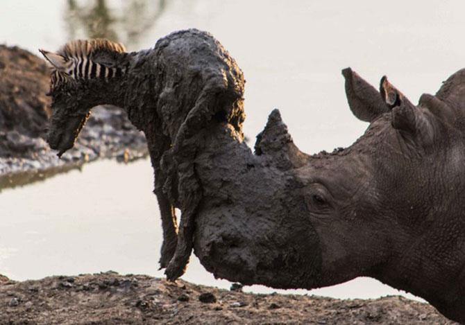 Rinoceronte acaba falhando na tentativa de salvar zebra (Foto: Roel van Muiden)