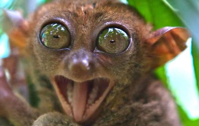 Os társios possuem 34 dentes e se alimenta principalmente de insetos e pequenos animais vertebrados