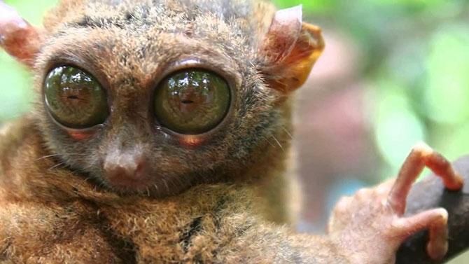 O olho do társio é maior que seu cérebro