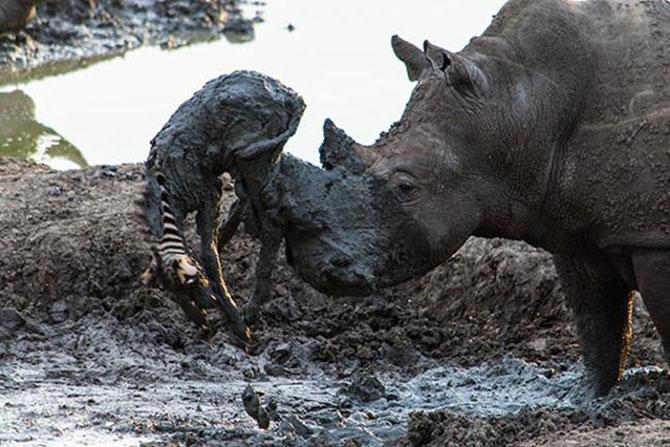 Zebra acabou morrendo após ser ferida pelo chifre do rinoceronte. (Foto: Roel van Muiden)