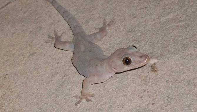 As lagartixas conseguem andar sobre qualquer superfície exceto o teflon