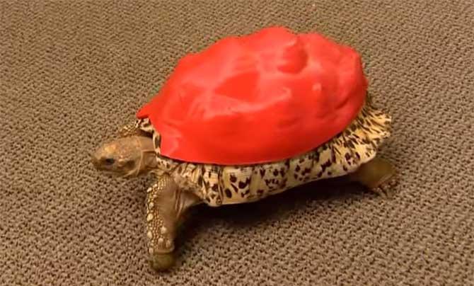 Prótese se encaixa perfeitamente ao casco da tartaruga. (Foto: Reprodução/YouTube)