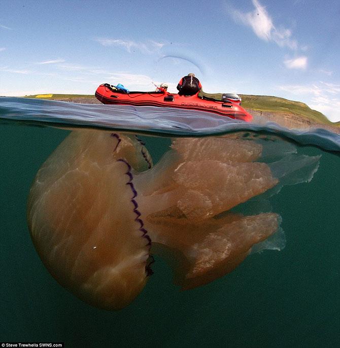 Algumas águas-vivas chegam a ter dois metros e até 30 quilos (Imagem: Daily Mail/Reprodução)