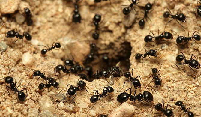 As formigas não permitem nenhum invasor em sua colônia