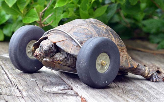 Engenheiro, filho da dona, removeu as rodas de um brinquedo e as adaptou a tartaruga