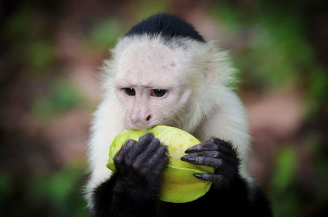 Os macacos não vivem apenas de banana, eles também gostam de outras frutas (Imagem: Reprodução)