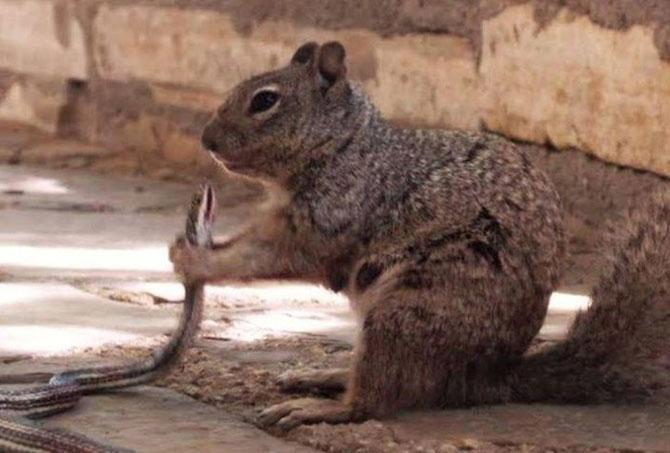 Esquilo comendo cobra virou hit na web (Foto: Reprodução/Facebook/U.S. Department of the Interior)