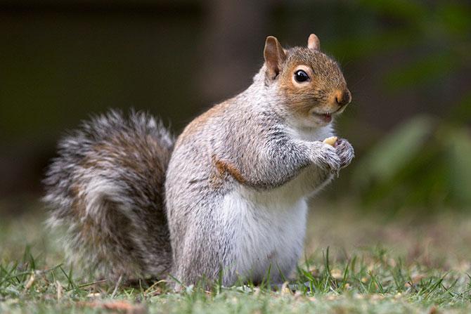 Muitos estão acostumados a ver esquilos comendo frutas e nozes (Imagem: Reprodução)