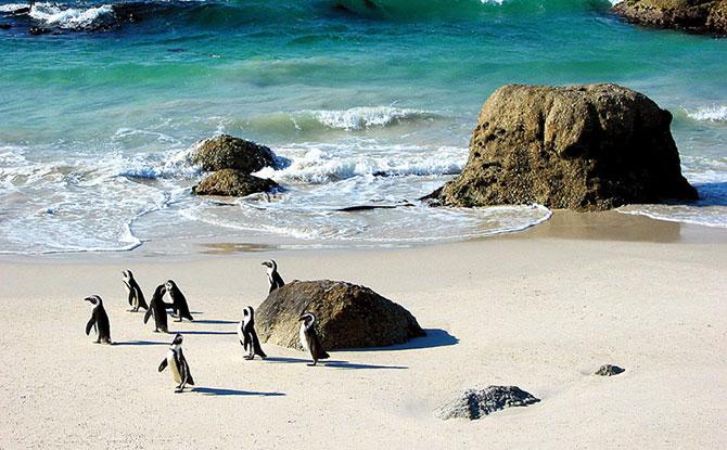 Os pinguins não vivem apenas no frio (Imagem: Reprodução)