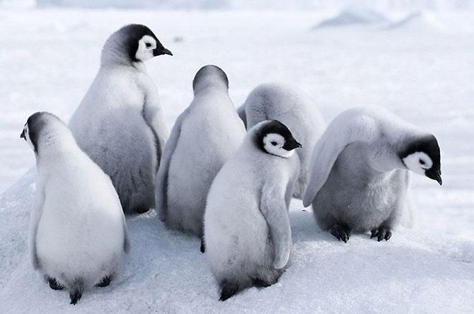 Os pinguins são um dos animais mais simbólicos da Antártida (Imagem: Reprodução)