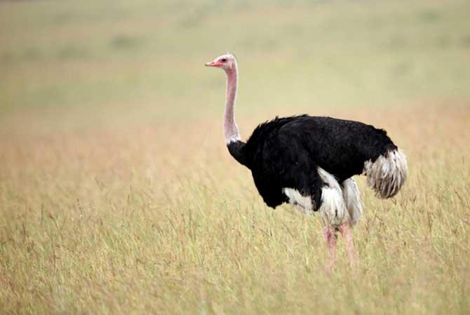 O suco gástrico produzido no estômago do avestruz é capaz até de dissolver metais (Imagem: Reprodução)