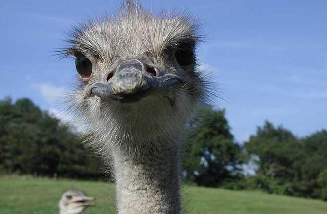 """Descubra a origem da expressão """"estômago de avestruz"""" (Imagem: Reprodução)"""