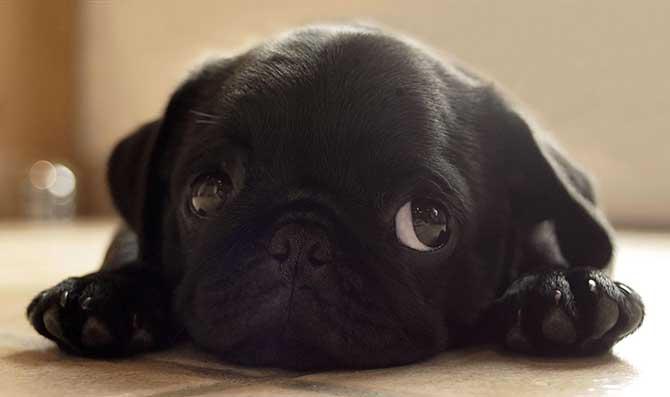 Descubra o motivo das 'voltinhas' que os cães dão antes de se deitar (Imagem: Reprodução)