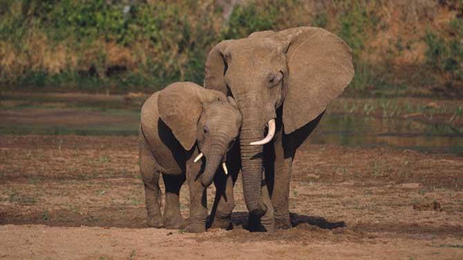 Os elefantes são animais muito perigosos quando estão com raiva (Imagem: Reprodução)