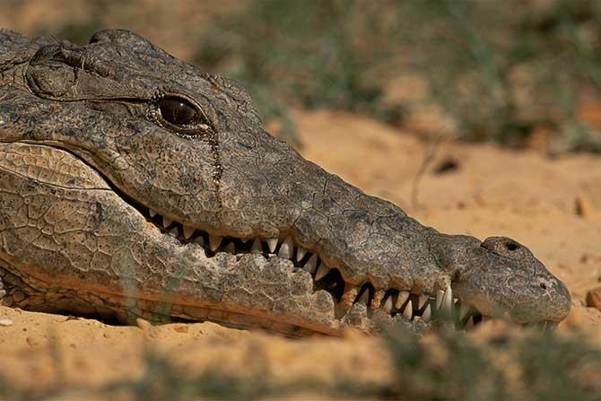 """Descubra o motivo por trás da expressão """"lágrimas de crocodilo"""""""