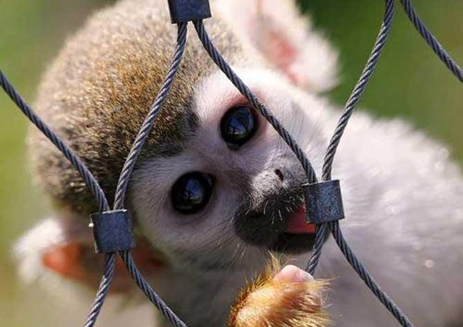 Os macacos são capazes de nos transmitir diversas doenças (Imagem: Reprodução)